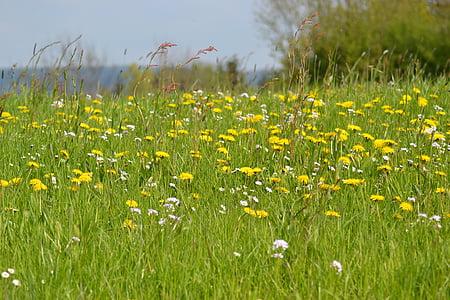 meadow, spring, spring meadow, dandelion, sun, nature, flower