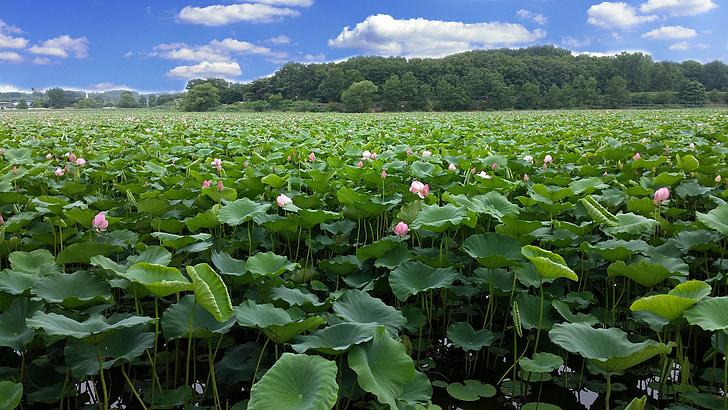 Lotus, rezervoar, deževnem obdobju, v polnem razcvetu