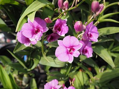 Orchid, Tai orchid, lilla, roosa, loodus, Aed, õis