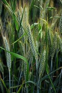 barley, cereals, cornfield, halme, spike, barley field, agriculture