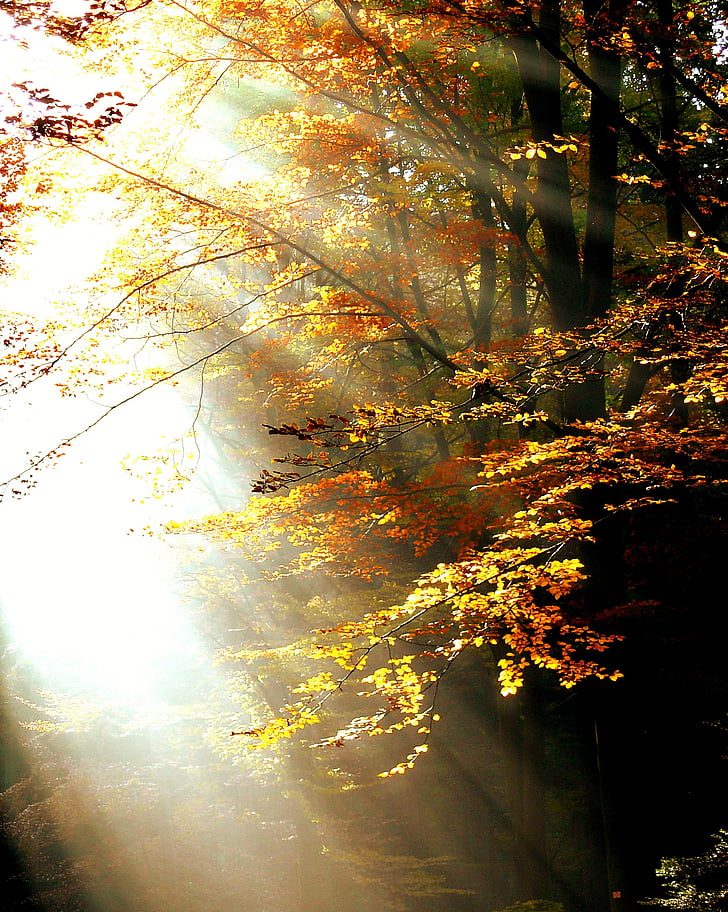 rừng, ánh sáng, mùa thu, cây, lá, màu sắc, nắng ấm