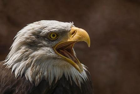 Adler, Beyaz baş, Yırtıcı Kuş, Kel kartal, Raptor, Beyaz kuyruklu kartal, Kapat