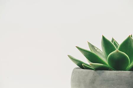 planta, suculentes, en test, espai en blanc, fons blanc, mínima, minimalista