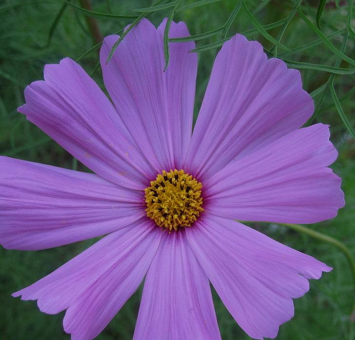 flor, flor, salvatge, simple, força, Margarida-com, porpra