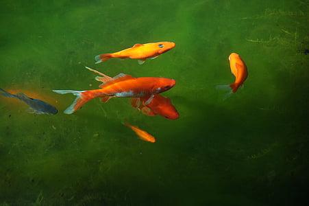 Vrtni ribnjak, hladno, H2O, Zlatna ribica, riba, vode, svjetlo