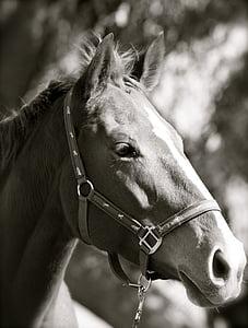 đen trắng, thuần chủng, Mare, con ngựa, động vật, Stallion, đầu thú