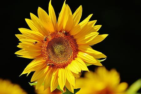 Sun flower, mesilased, suvel, Aed, õis, Bloom, kollane
