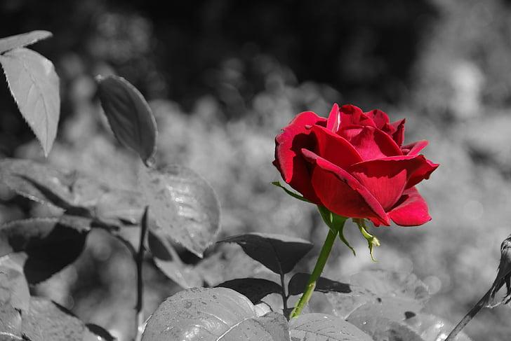 Rosa, flor, flor, rosa vermella