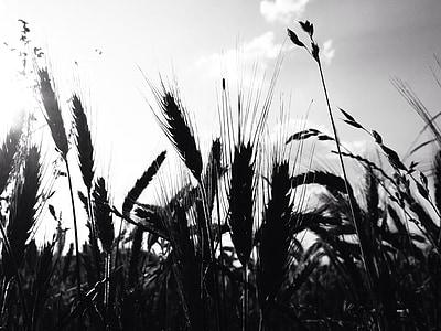 cereais, campo de trigo, orelha, grão