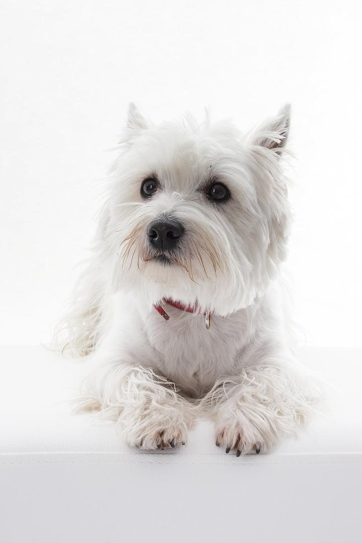 Hund, Tier, Haustier, Westi, West Highland White terrier, Terrier, weiß