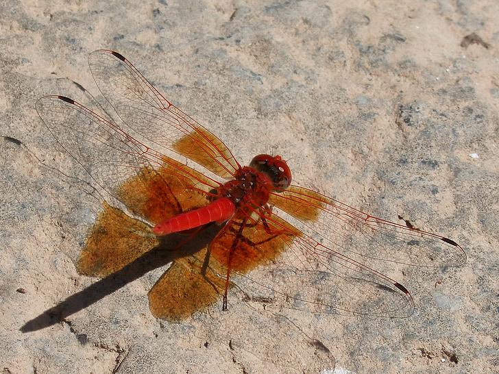 Ruddy vážka, červená vážka, tieň, Rock, hmyzu, vážka, Príroda
