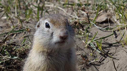 gopher, animals, rodent, nature, animals in nature