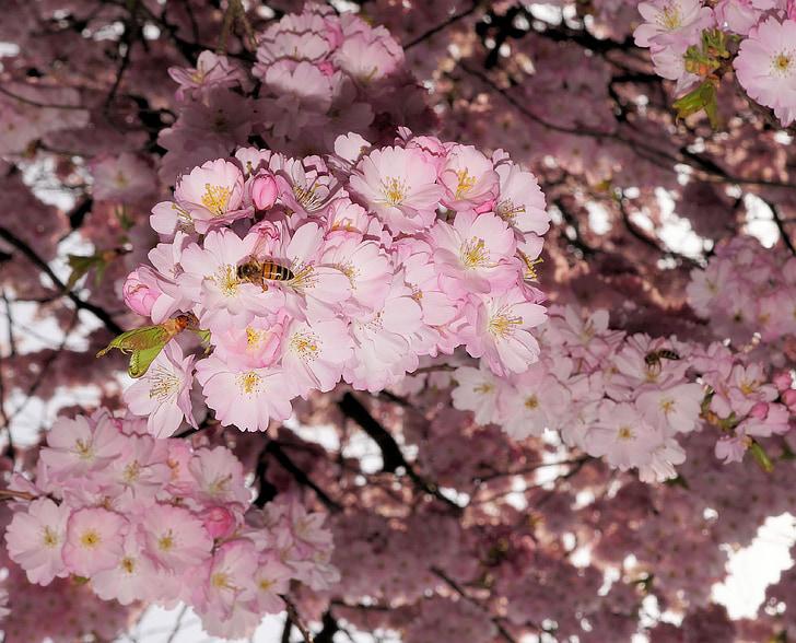 Jaapani Kirsipuud, kirss, lilled, roosa, pakkumise, ees hoovis, kevadel