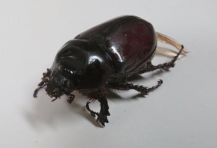 ด้วงแรด, ด้วง, แมลงปีกแข็ง, ฉลูด้วง, แมลง, ข้อผิดพลาด, กีฏวิทยา