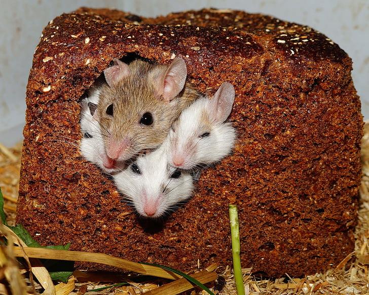 mastomys, miševi, Nager, glodavci, Kućni ljubimci, Afrika, Savannah