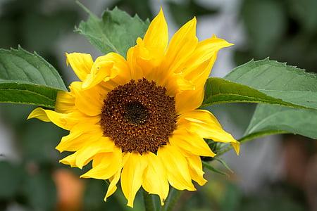 Sun flower, kollane, kollane lill, õis, Bloom, kroonlehed, Aed