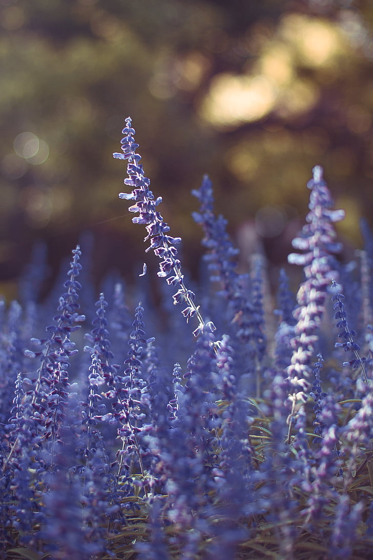 lavanda, camp, flor, granja, l'aire lliure, jardí, natura