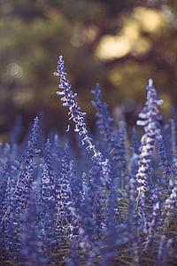 laventeli, kenttä, kukka, Farm, Ulkouima, Puutarha, Luonto