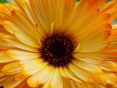 Medetkų, geltona gėlė, vasaros gėlių