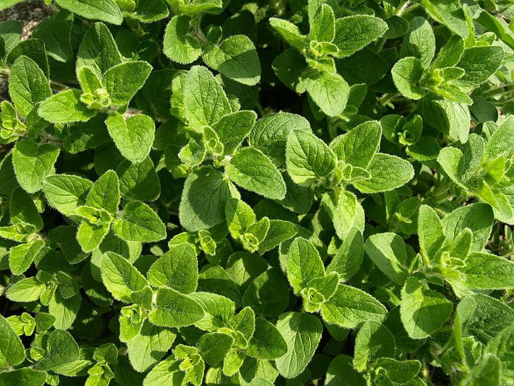 oregano, culinary herbs, mediterranean, herbs, kitchen, season, cook