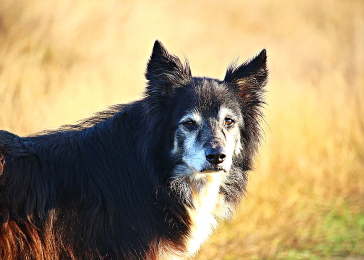 gos, Collie, frontera, gos pastor, frontera collie, gos purebred, gos pastor britànic