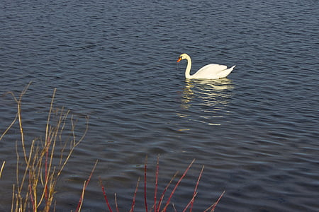 swan, lake, animal, bird, nature, water bird, white swan