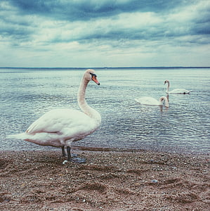 two, white, ducks, ocean, duck, seashore, birds