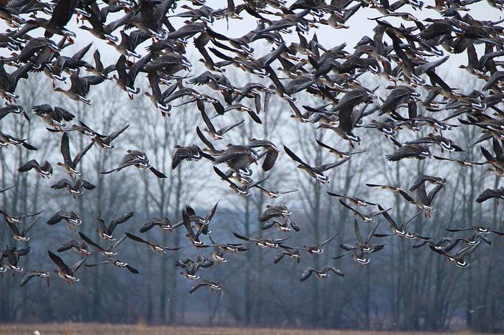 Oca salvatge, oques, ocell, ramat d'ocells, aus migratòries, ocells, ocell d'aigua