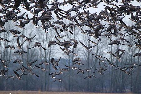 дивата гъска, гъски, птица, стадо от птици, мигриращи птици, птици, вода птица