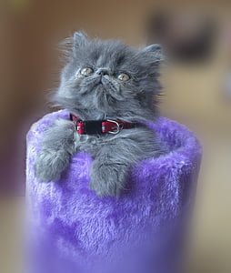 cat, persian, feline, pet, animal, persian cat, home