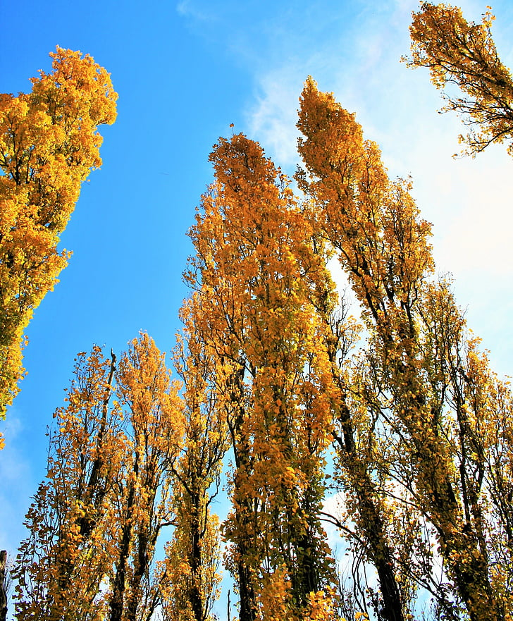 árboles de álamo, árboles, amarillo, álamo, alto, otoño, temporada