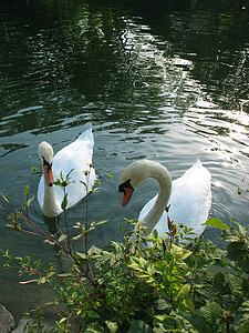 swans, water, animal, white, swim, swan, pair