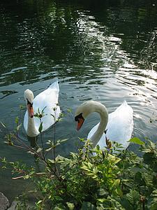 labutě, voda, zvíře, bílá, plavání, labuť, dvojice