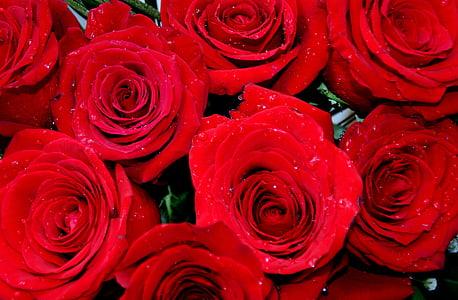上升, 红色, 露水, 花瓣, 花
