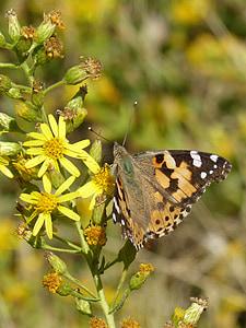 vlinder, Distelvlinder, Vanesa van distels, migreren dels kaarten, bloem libar, insect, natuur