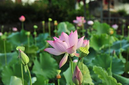 Розовый лотос, стручки, Семена лотоса, Лотос, элегантный, Художественная концепция, листьев лотоса