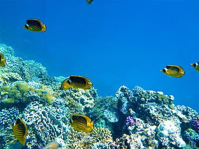 peixos marins, roques, Mar, sota l'aigua, escull, natura, peix