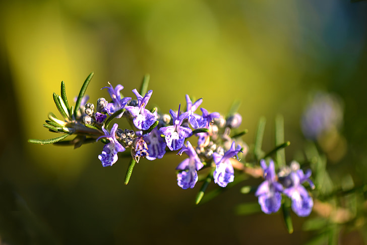 romaní, flor, Provença, violeta, verd, natura
