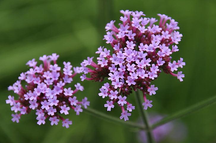umbel, flor, violeta, farigola, natura, porpra, planta