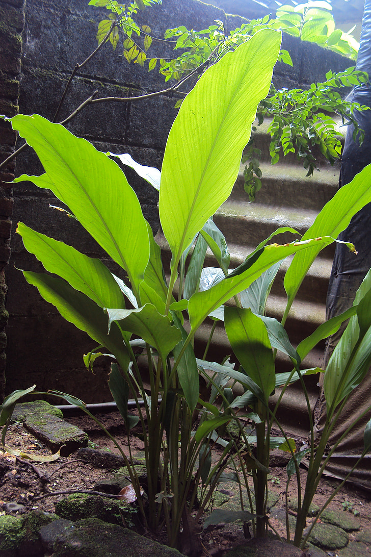 ginger, herbal, herbal plant, ginger plant, local medicine, sweetener