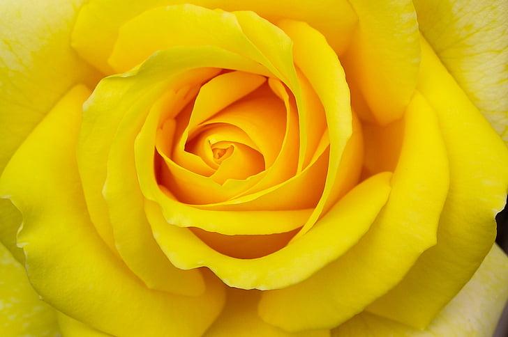 Hoa hồng, màu vàng, Hoa, nở hoa, vĩ mô, hoa mùa hè