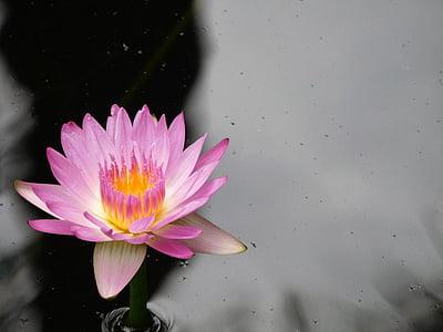fialový leknín, Příroda, vodní květ, přírodní, jezero, Vodní lilie, Lotus leknín