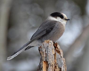 gray jay, bird, jay, nature, wildlife, gray, animal