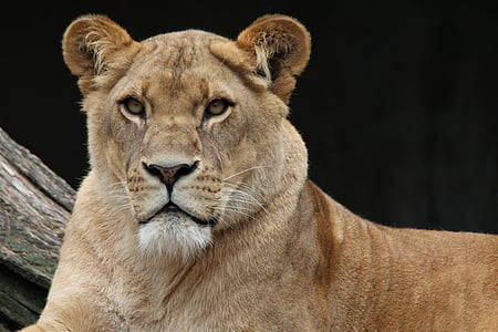 lion, panthera leo, lioness, animal world, africa, portrait, animal