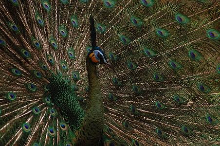 animal, bird, peacock