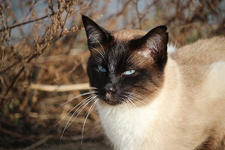 猫, シャム, シャム猫, 猫の品種, サイアム, mieze 型, 猫の肖像画