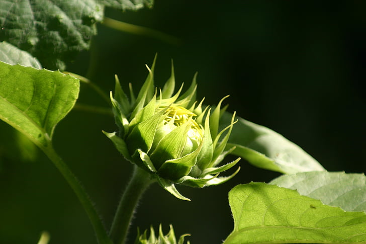 flors de sol, nova flor, flor de gira-sol, primavera, despertar, l'estiu, flor d'estiu