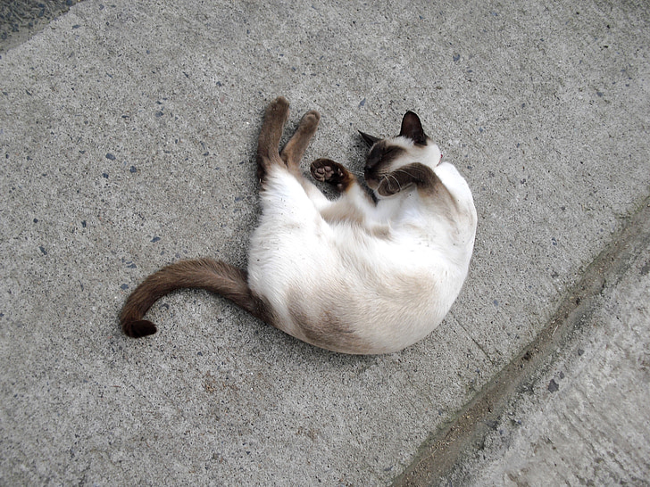 kucing Siam, hewan peliharaan, kucing, kucing, tidur