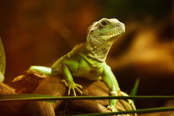 jašterica, Dragon, plaz, zviera, tvor, Zelená, vedúci