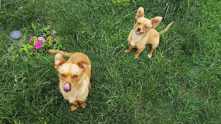 dogs, young dog, puppies, puppy, funny dogs, yellow dog, yellow dogs